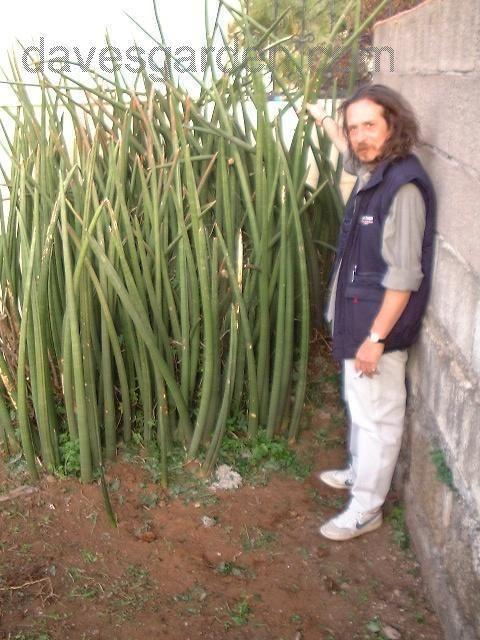 Full size picture of Sansevieria ( Sansevieria stuckyi ...