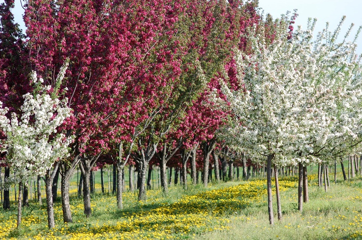 Crabapple trees stay small have great year round color for Trees that stay small