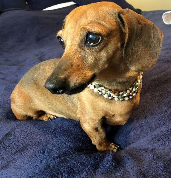 Kipling Adoptable Dog Senior Female Dachshund Dog Breeds Dogs
