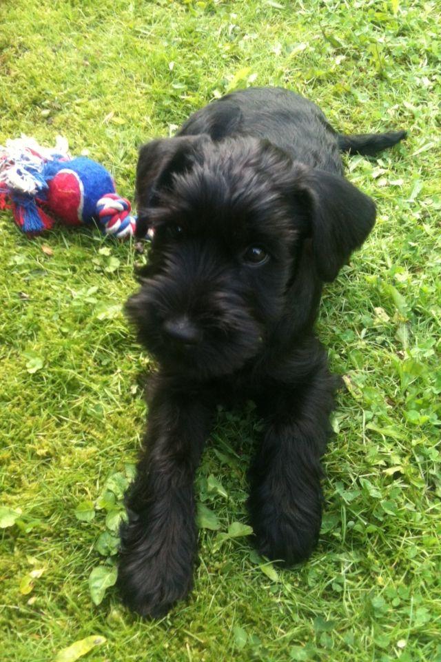 Cutest black standard Schnauzer puppy ever!