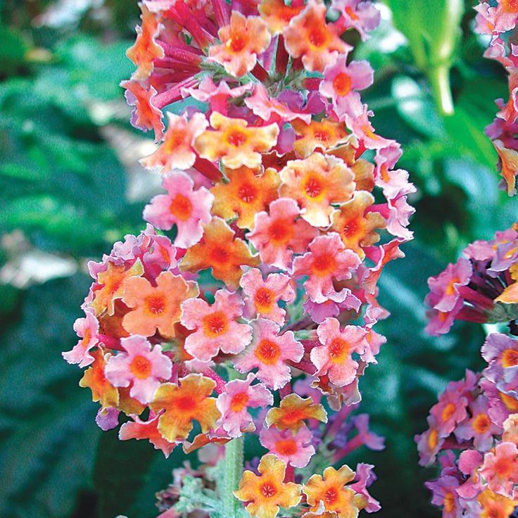 Kaleidoscope Butterfly Bush Butterfly Bush Bulb Flowers