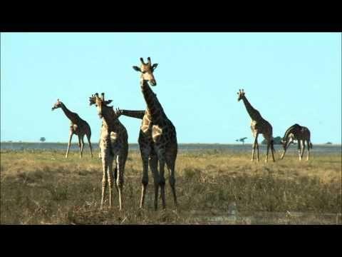 Giraffe Facts For Kids | Giraffe Habitat & Diet