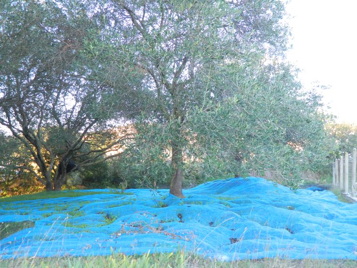 olivies