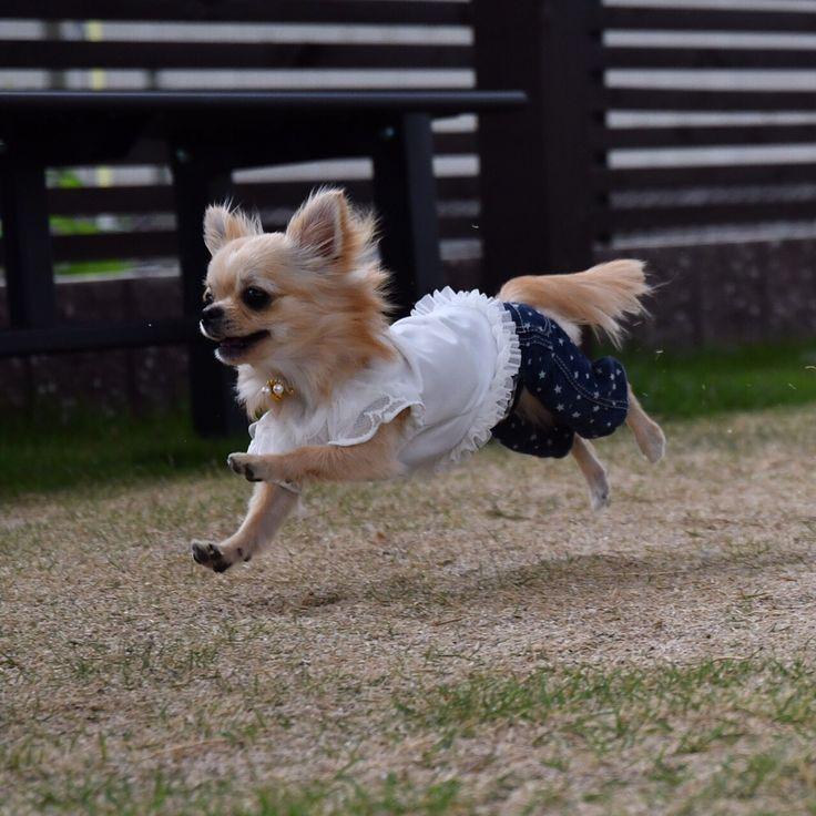 "709 Likes, 19 Comments - bless dog cafe okayama☕️ (@tsubomi.bless.dog.cafe) on Instagram: ""おはようございます☀ 暑くなりそうな岡山‥ でも店内愛犬OKでーす😊 #チビチワワ🐶 #doglove #岡山カフェ #岡山ドッグラン #岡山ドッグウェア #岡山 #福山市 #倉敷市…"""