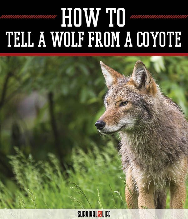 Coyote vs. Wolf: Knowing the Difference | Wilderness Preparedness And Survival Skills by Survival Life at http://survivallife.com/2015/12/27/coyote-vs-wolf/