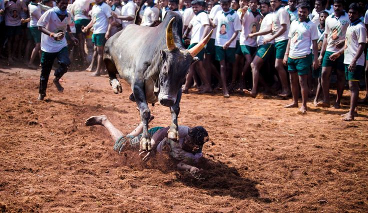 Jallikattu is a bull taming sport played in Tamil Nadu as a part of Pongal celebrations on Mattu Pongal day. Its cruelty to animals.