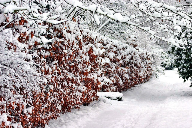 fagus sylvatica - beech hedge in winter