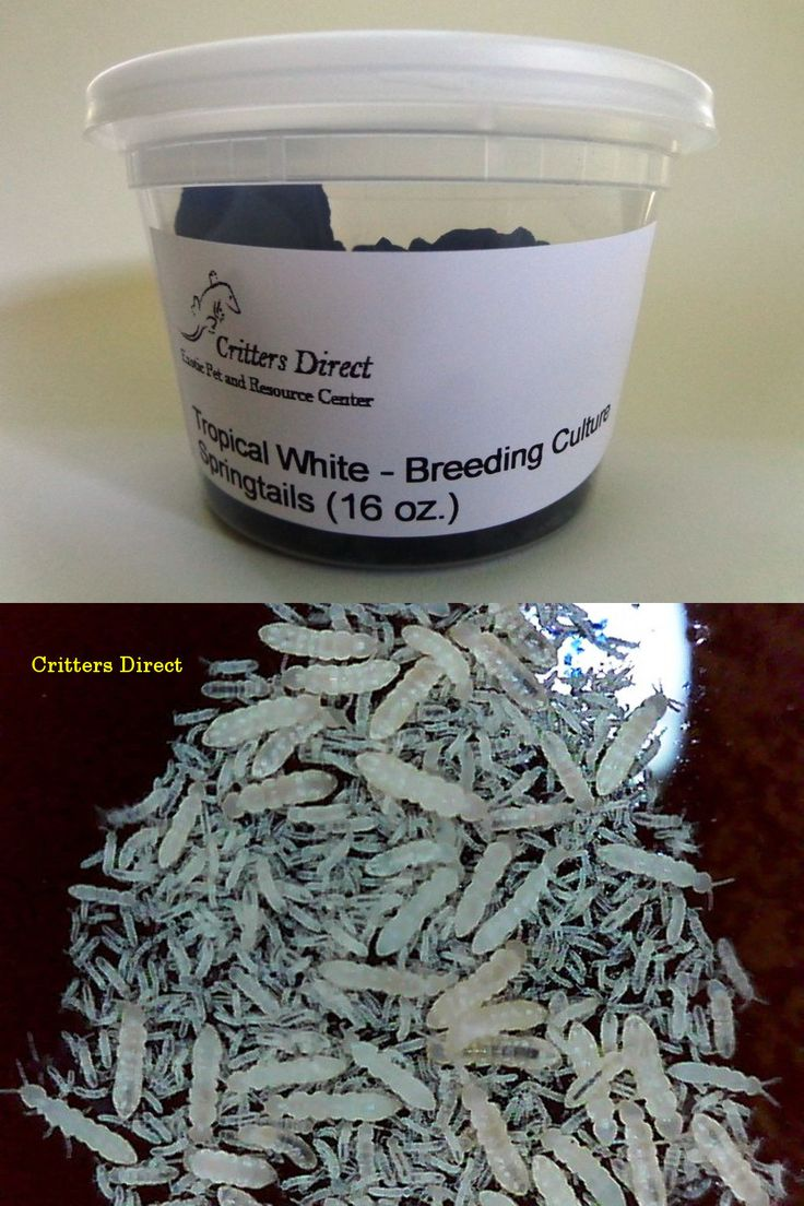 Reptile Supplies 1285: Live Springtails, Tropical White: From Critters Direct -> BUY IT NOW ONLY: $34.99 on eBay!