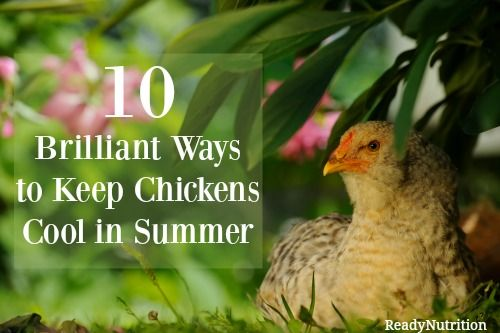 Chickens can withstand a lot weather extremes, but heat is not one of them. Here are 10 brilliant ways to keep your chickens cool during these hot summer months!