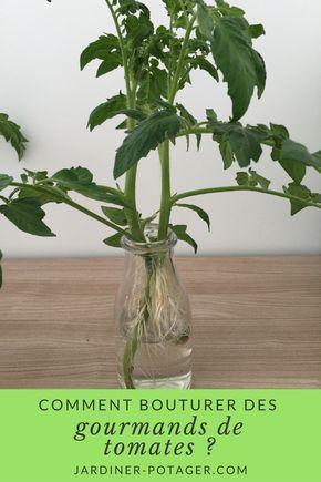 Comment bouturer les gourmands de tomates ? | http://jardiner-potager.com