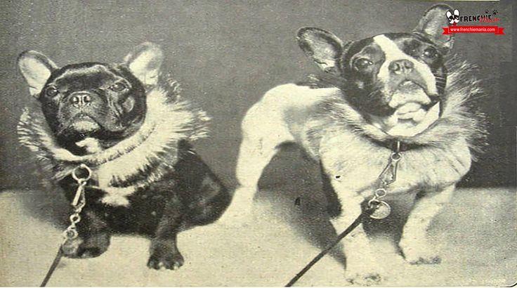 Conoce los orígenes del Bulldog Francés, los cuales remontan a la década de 1850. Su historia habla de que es descendiente de las razas de tipo mastiff