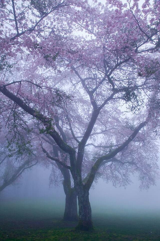 Foggy flowering trees