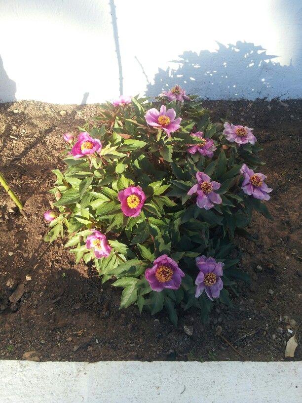 Paeonia con flor, es una planta endemica de Menorca.Esta en especial tiene 36 años.