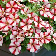 Surfinia serisi tam sarkan petunyalar, parlak ve iri çiçeklere sahip askı sepetlere uygun petunya varyetesidir. Erken ve bol çiçek açan, iyi dallanma yaparak dikili oldukları saksıları kolaylıkla dolduran rakipsiz sarkan petunya varyetesidir. Geniş renk yelpazesinde beğenize sunulmuştur.