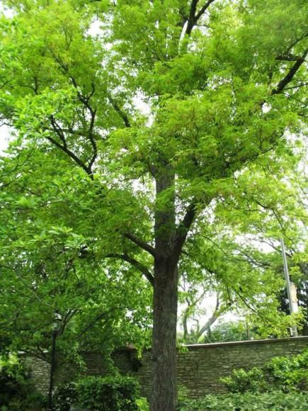 The 25 best best shade trees ideas on pinterest for Ornamental trees that grow in shade