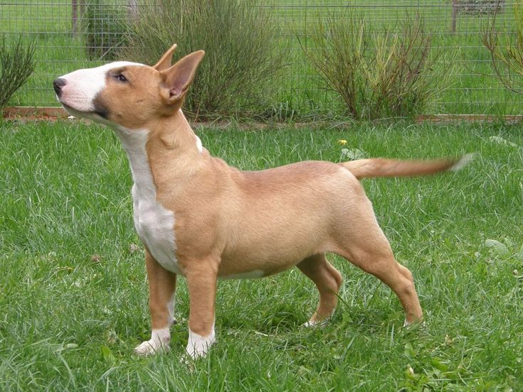 Cute Bull Terrier (Miniature) Jack photo