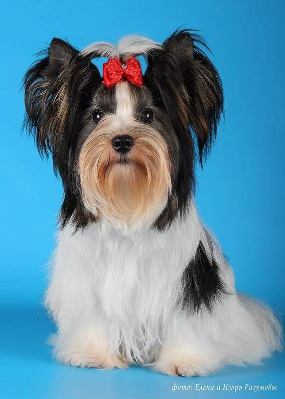 Biewer Yorkshire Terrier .  Фото собак породы Бивер йоркширского терьера фотографов Елены и Игоря Разумовых.