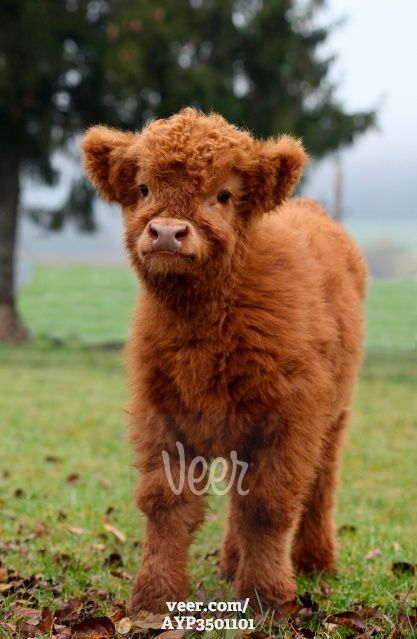 Scottish Highland cattle (Bos primigenius f. taurus) calf, Allgaeu ...
