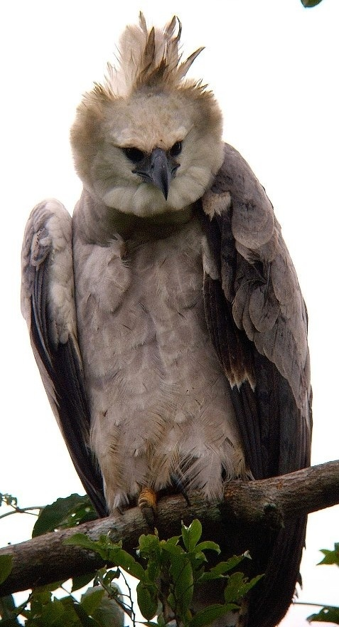 Harpy eagle seen on at Dallas Aquarium finally one checked off this list yaayyy✔