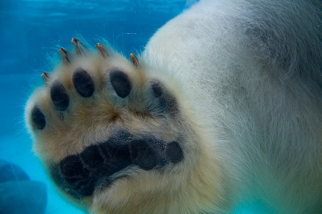 Lincoln Park ZooPhotos, Parks Zoos, Bears Claw, Polar Bears, Lincoln Parks, Bears Paw, Chicago, Chrisco Chairs, Animal