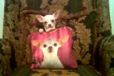 Belle the Chihuahua sitting on a recliner with her front paws on a pillow that has Belle's face with a tiara and scepter on it