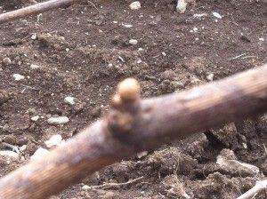 Wooly bud on Chardonnay vines