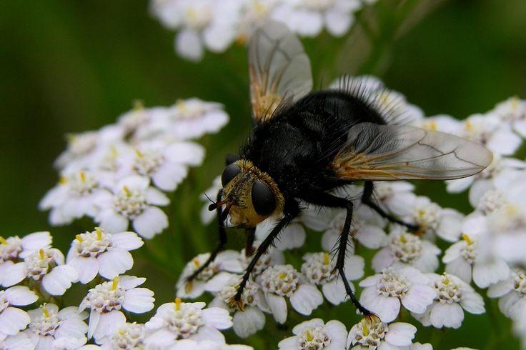 (Tachina grossa) Mosca de unos 20 mm, la mayor en Europa de la extensa y poco conocida familia Tachinidae. Son endoparásitos de otros insectos. Parasita orugas de mariposas nocturnas de las familias Sphingidae y Lasiocampidae. La mosca hembra pone un huevo en la oruga, que sobrevive hasta la fase de crisálida, mientras su interior es devorado por la larva de la mosca. De la crisálida, n vez de una mariposa elegante, emergerá una mosca negra y peluda.