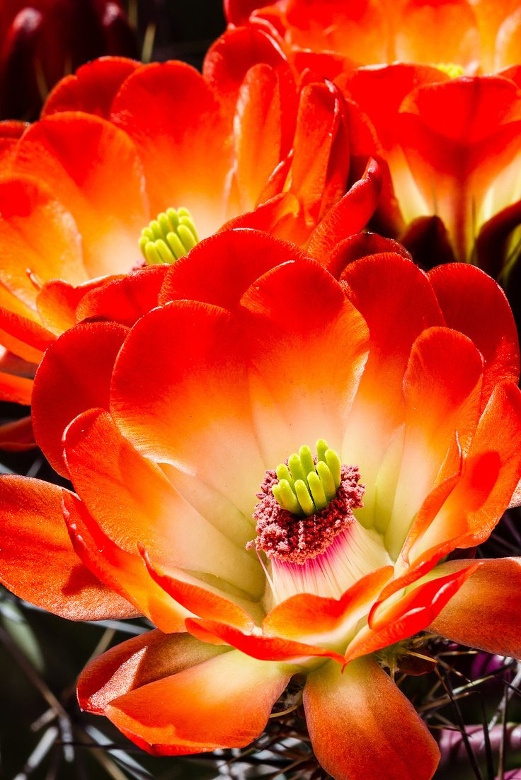 Cactus flowers | For a couple of days each year the little hedgehog cactus blooms with extraordinary flowers