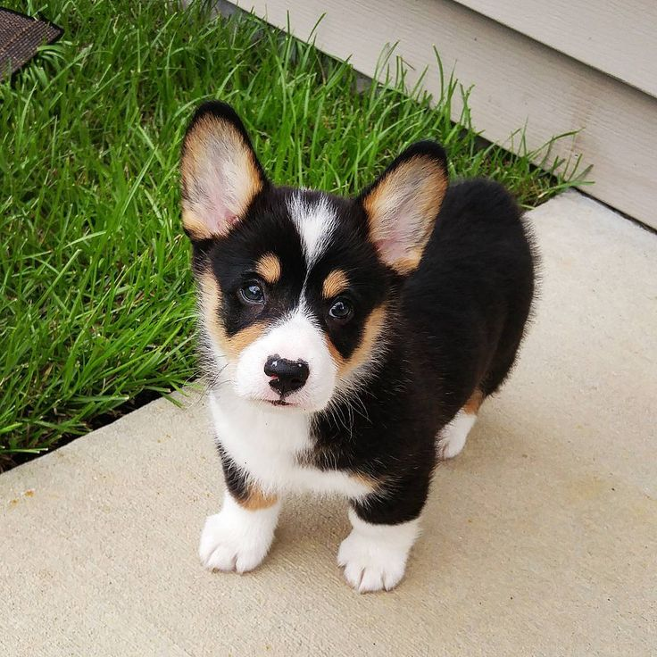 Moose the Corgi Instagram Cute, Adorable, Tri-Color Pembroke Welsh Corgi Puppy