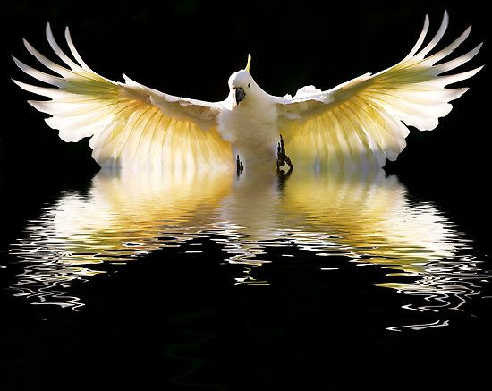 hepsylone: Amazing, Photos, Cockatoo, Animals, Reflection, Nature, Beautiful Birds