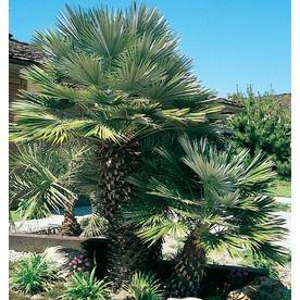 5.5-Gallon European Fan Palm (L9064) Nursery