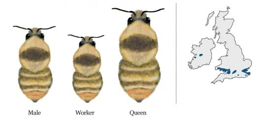 Very rare | Bumblebee Conservation Trust