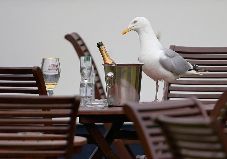 Чайка на столе в Шотландии