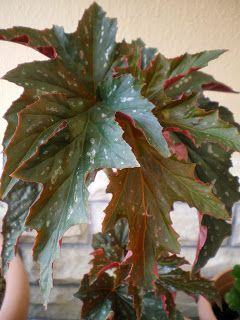ΑΓΡΟΛΟΓΙΟ: Φυτά εσωτερικού χώρου - ΜΠΙΓΚΟΝΙΑ
