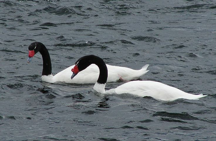 The Black-necked Swan (Cygnus melancoryphus) is the largest waterfowl native to South America.