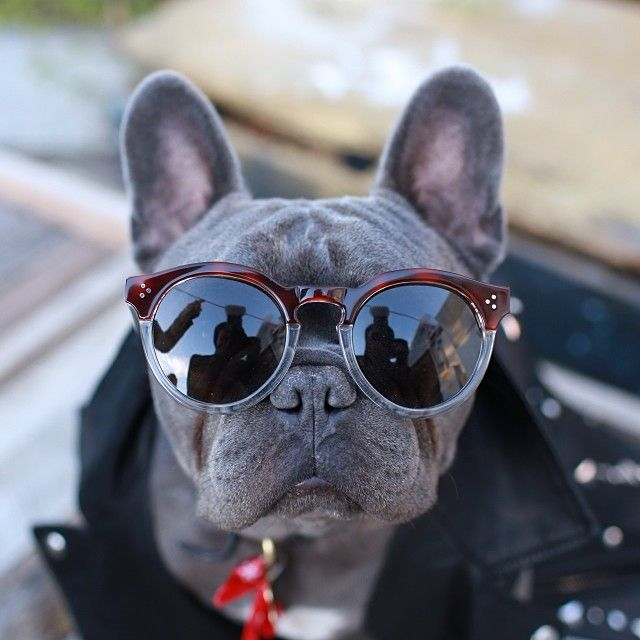 Bozly the French Bulldog is the most Stylish French Bulldog at the Larchmont Library