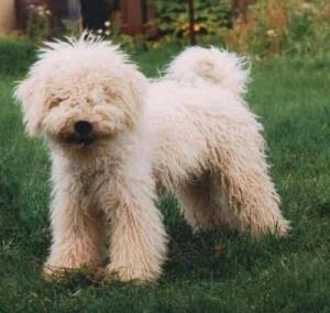zuckerberg puli puppy