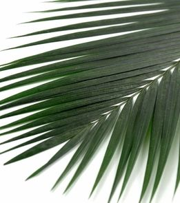"""Preserved Palm Leaves Natural 32"""" Green"""