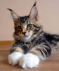 maine coon kitten, look at the size of those paws!