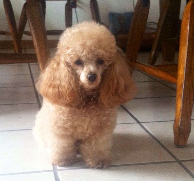 Apricot Toy Poodle: Ruby Fierce