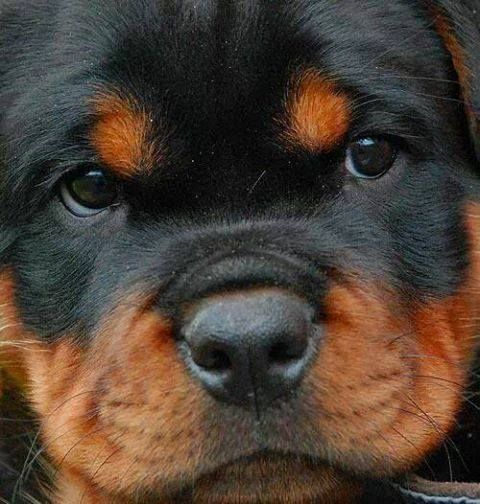 rottweiler puppy <3  deep breaths deep breaths. I can fight this temptation. . . Oh who am I kidding!