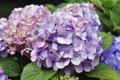 When to Plant Hydrangeas?