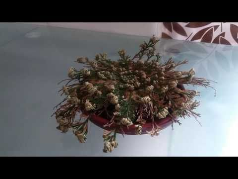 Rosa de Jerico com time lapse! - YouTube