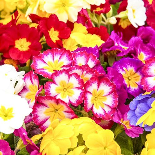 Mixed Hardy Primrose At Spring Hill Nurseries