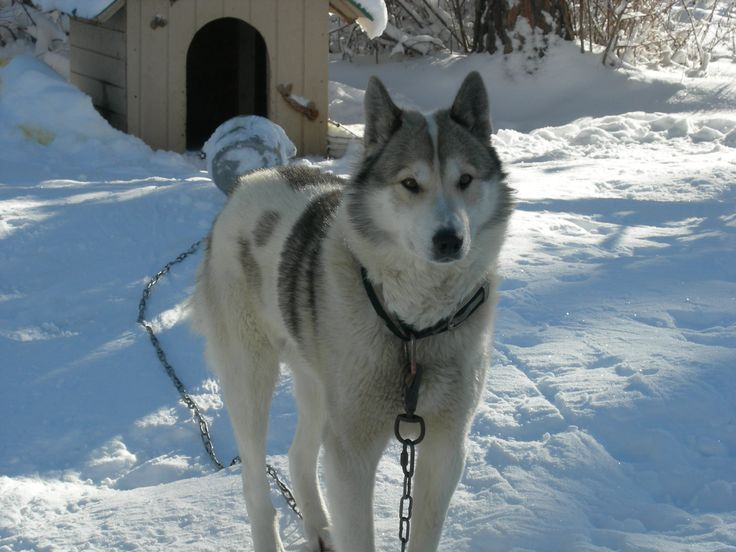 17 Best images about West Siberian Laika on Pinterest ...