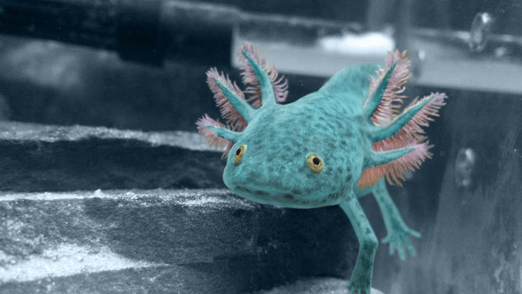 This is one of my pets. An axolotl, an aquatic salamander native to Mexico.