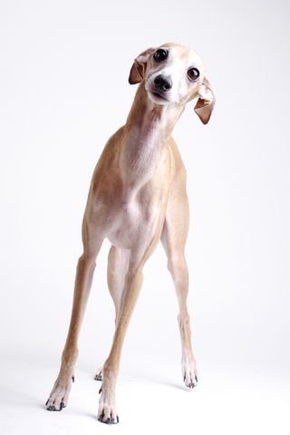 Italian greyhound! Now can you see the Snuggles in her?!