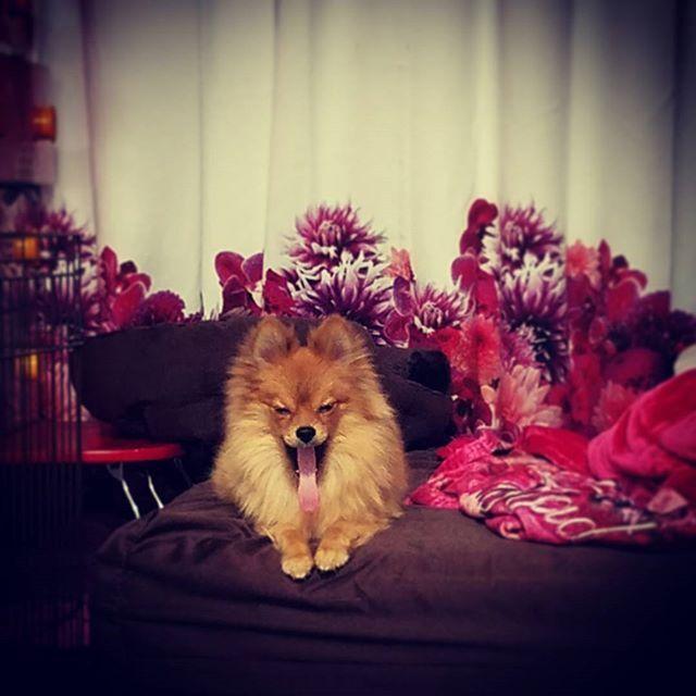 * 、  ふぁーーーー。。。 、  食後の運動しよるけん 終わって薬にしよーかな。 、 * #ポメラニアン#ぽめらにあん#ぽめらにあんが世界一 #ポメラニアンが世界一可愛い #pomeranian#いいね#いいね返し #いいね返します #フォロー#ふぉろー#犬#いぬ#ウルフセーブル#多頭飼い#ふわもこ部 #親バカ部 #福岡#福岡犬#福岡犬民#犬バカ部 #いぬら部 #いぬすた#いぬすたぐらむ #かわいすぎる#おもしろ#dogstagram #写真好きな人と繋がりたい#愛犬#黒ポメ#黒