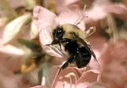 a wood boring carpenter bee