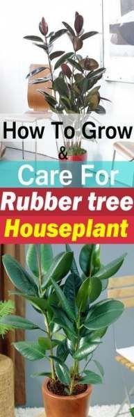 51 Ideas plants indoor design rubber tree